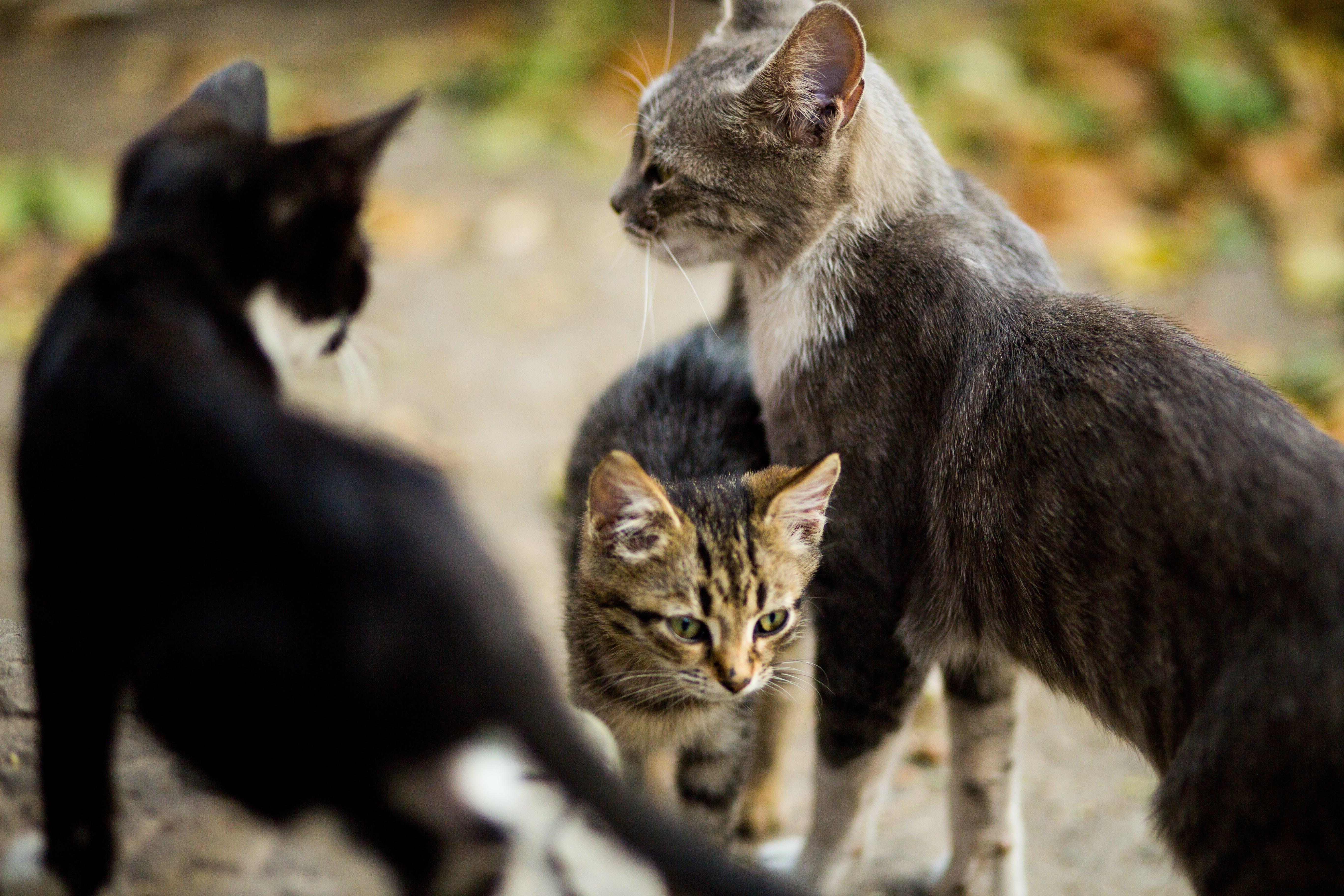 ストリートキャッツ, ホームレス, 愛, 灰色の猫の無料の写真素材