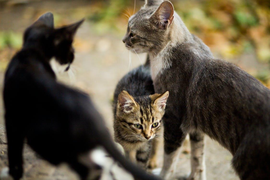 gade, grå kat, hjemløs