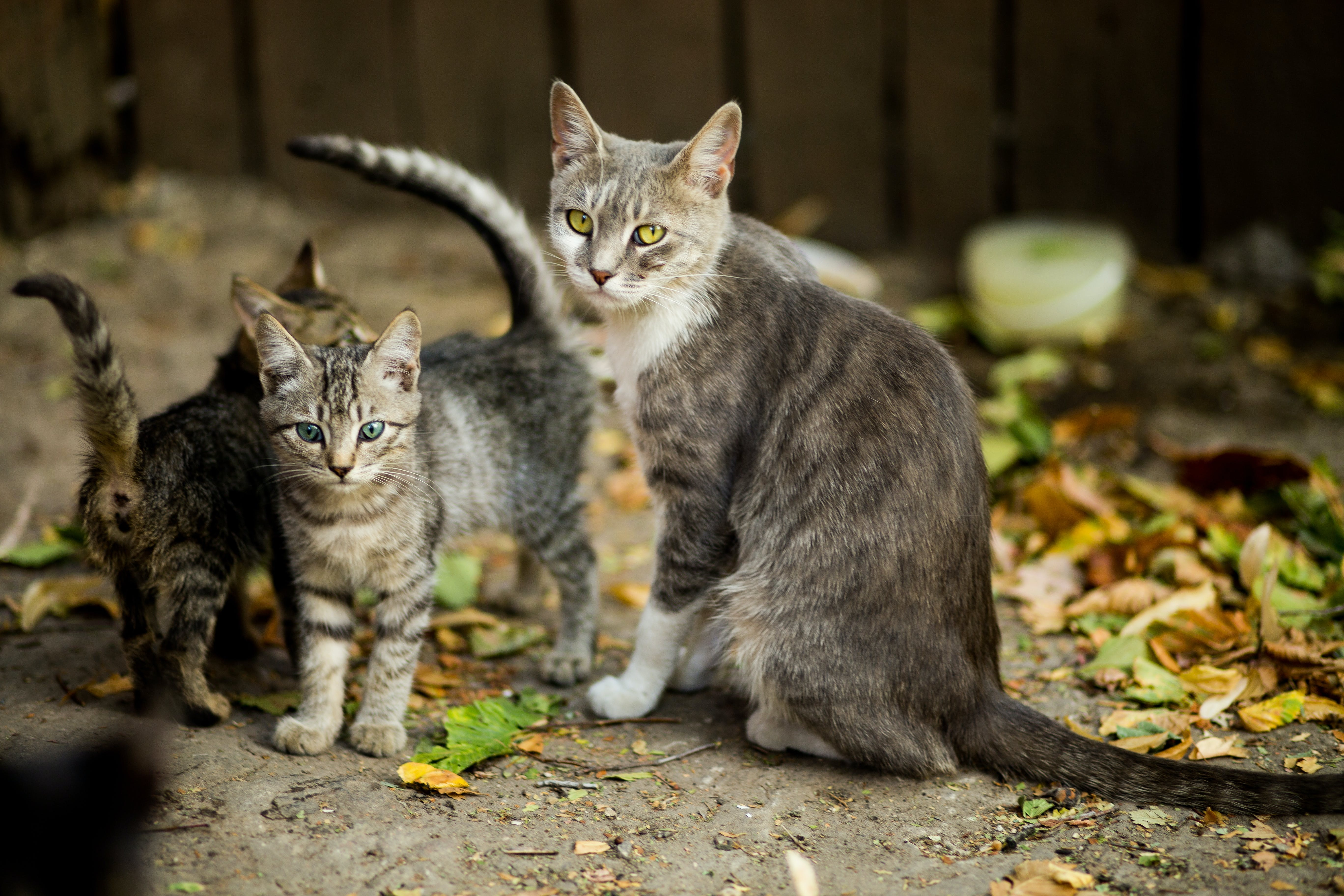 Selective Focus Photo of Silver Tabby Cat and Kittens