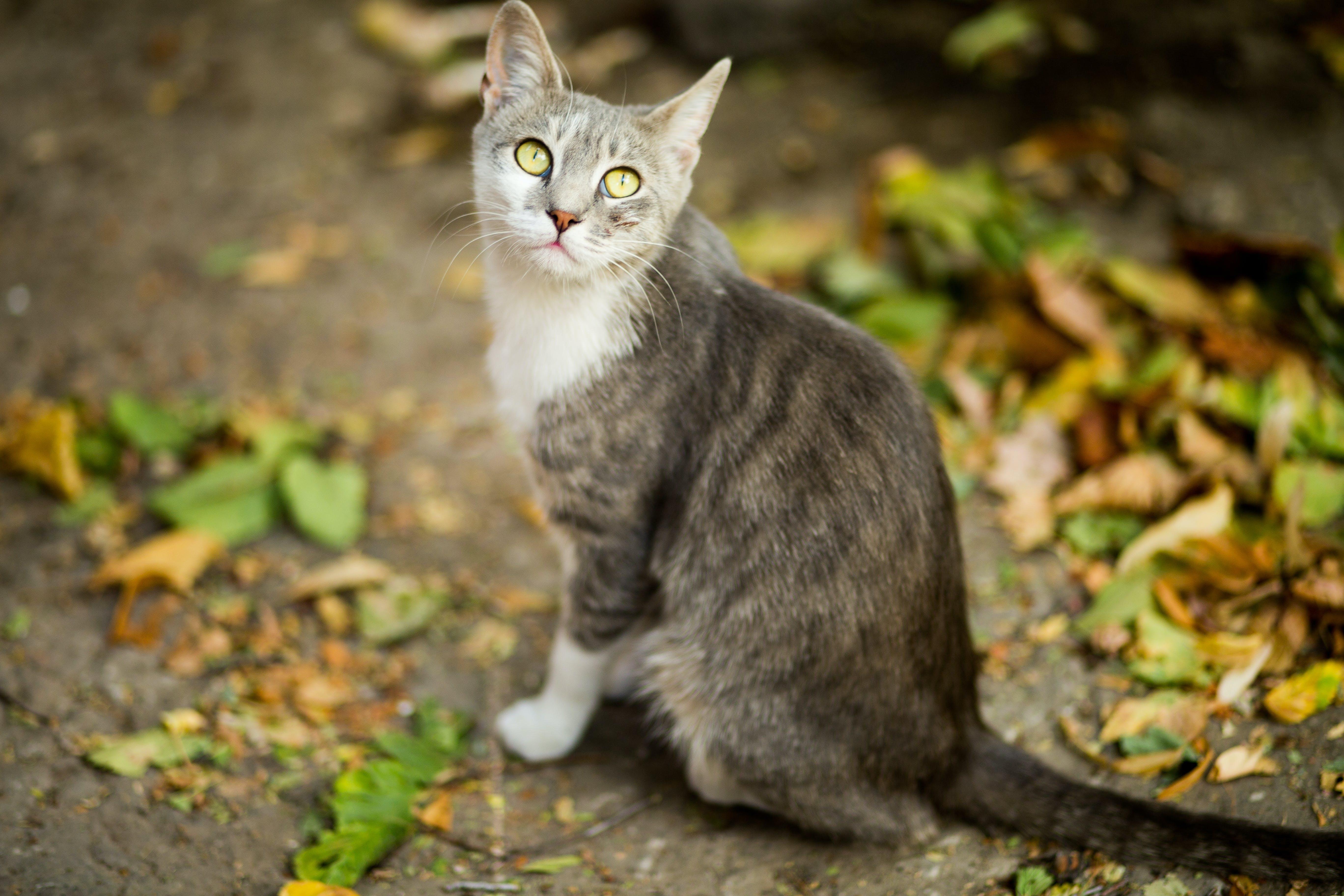 ぶち, キティ, グレー, ペットの無料の写真素材