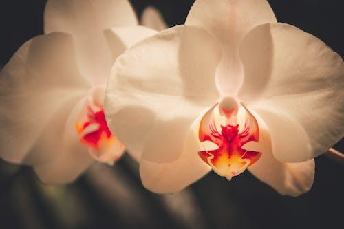 Gratis lagerfoto af blomst, djævel, dæmon, Orkidé