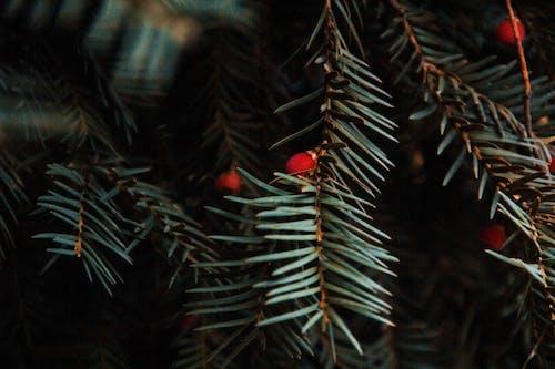 Foto profissional grátis de alpino, árvore de Natal, plantas verde-escuras, vermelho