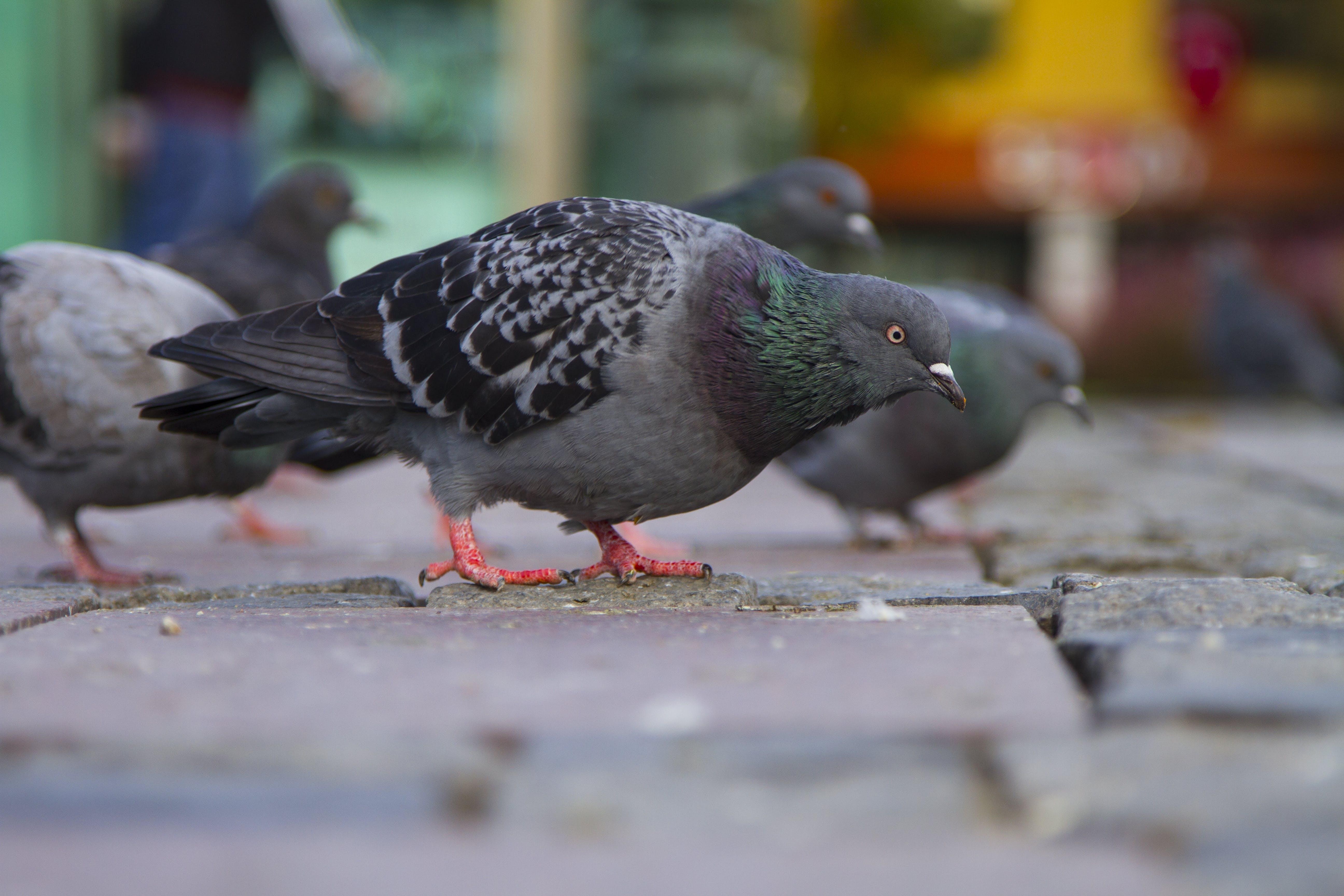 Free stock photo of bird, Istanbul, pigeon, pigeons