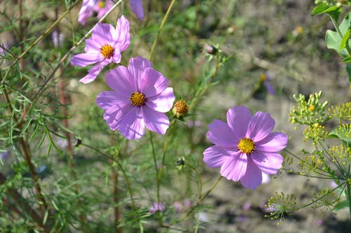 Free stock photo of beautiful, bloom, cosmea, flowers