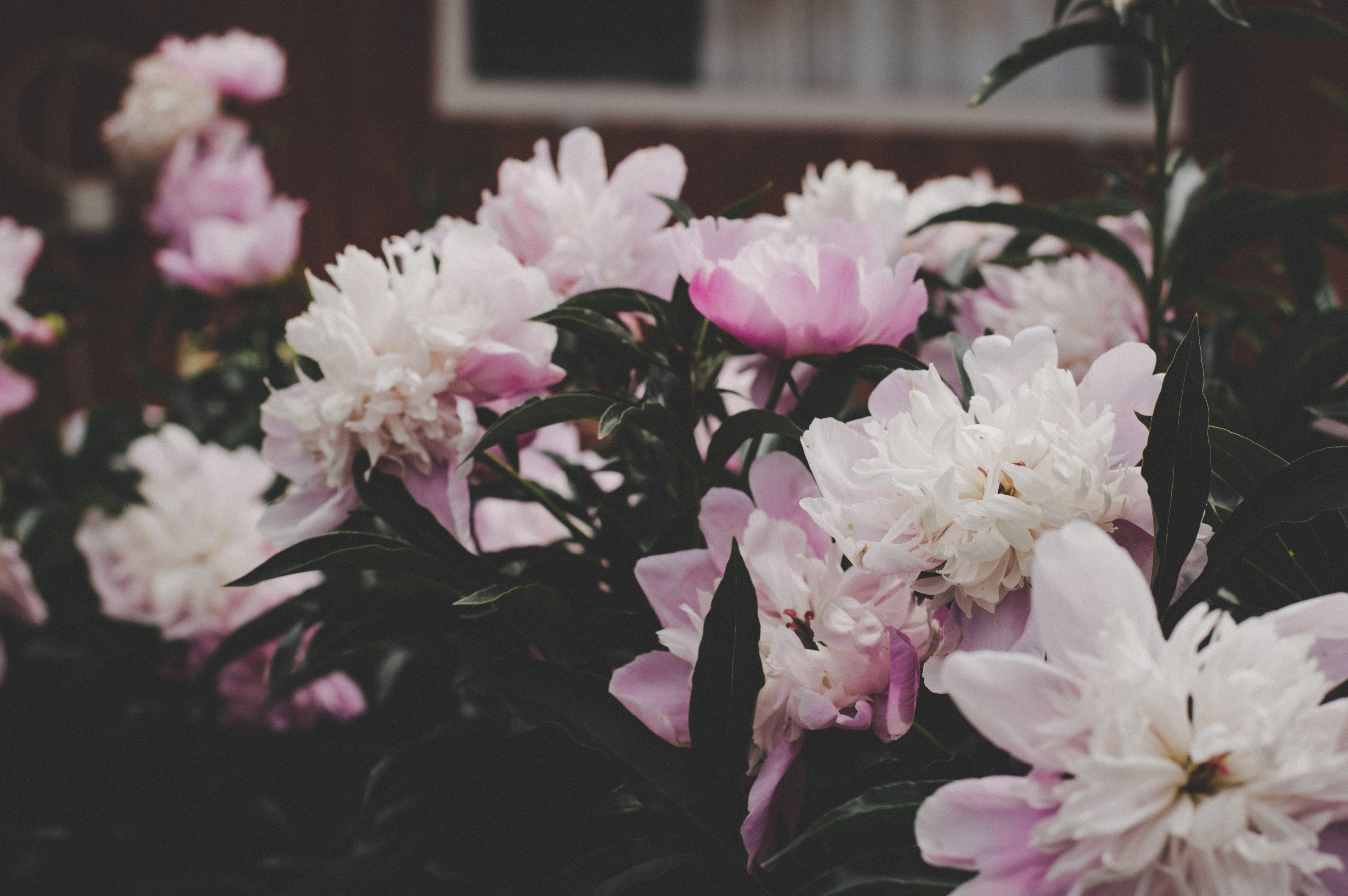 Kostenloses Stock Foto zu blätter, blühen, blumen, blüte