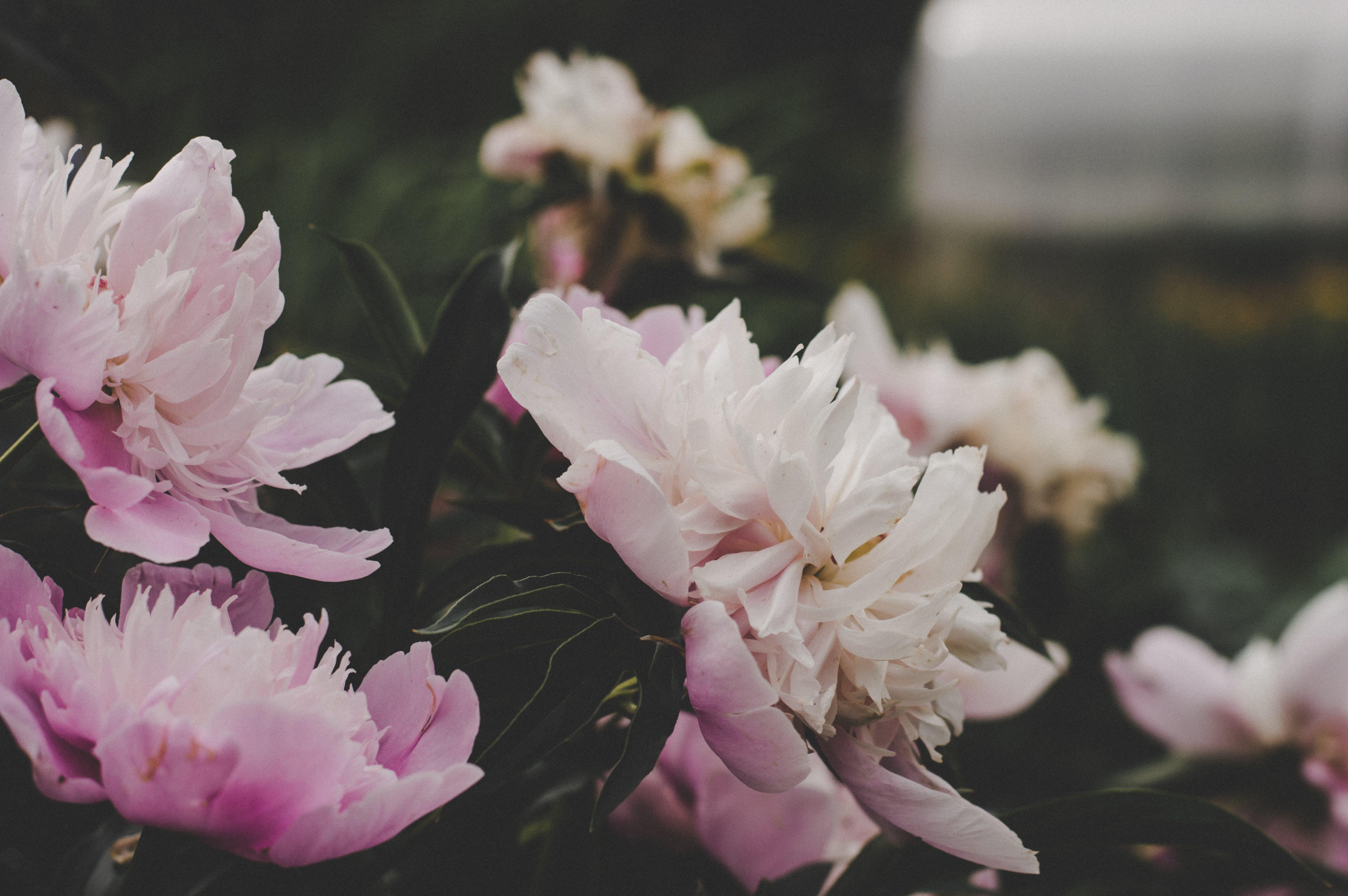 Pink Flowering Plant