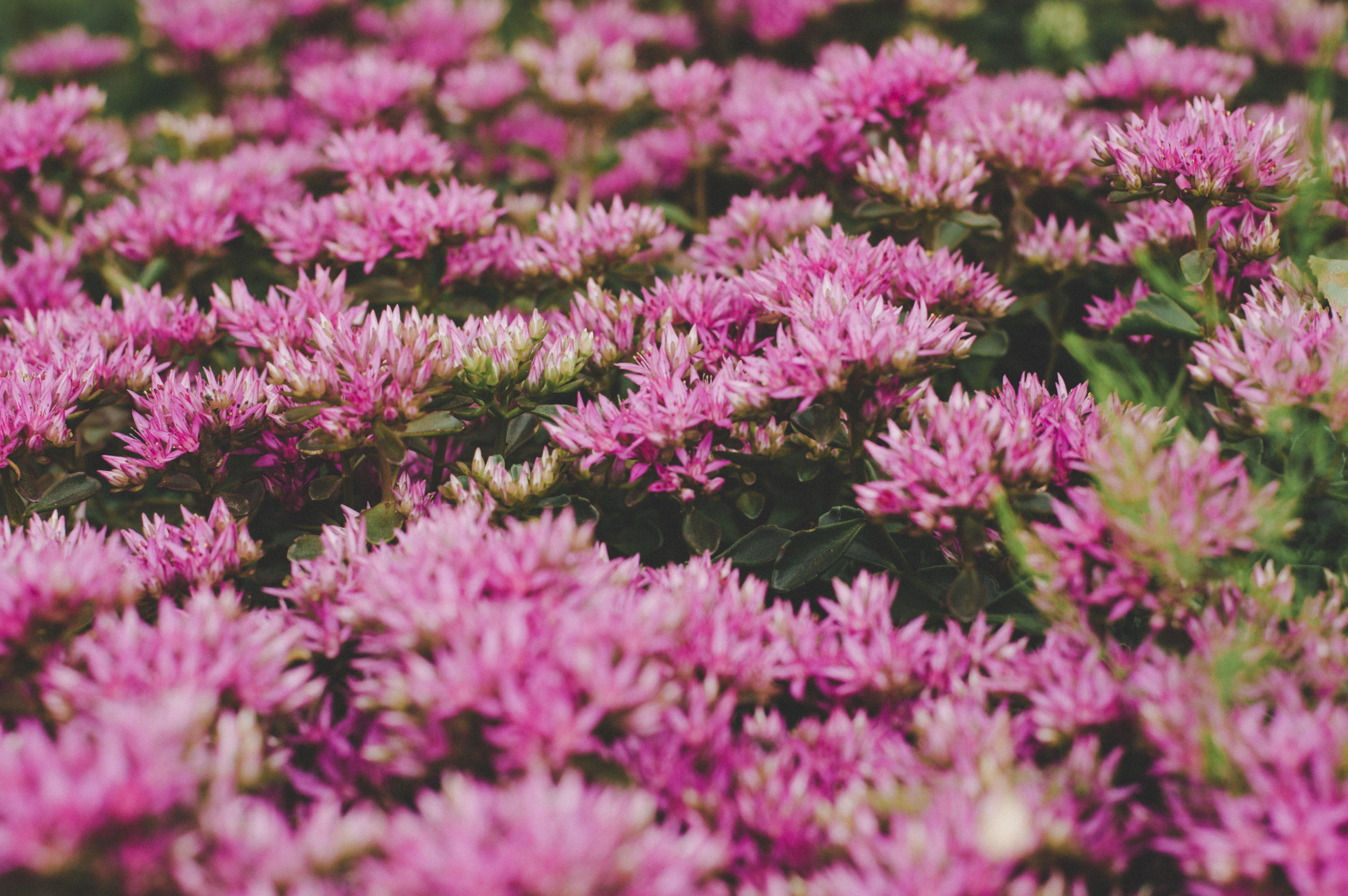 Foto stok gratis berkembang, bidang, bunga-bunga, flora