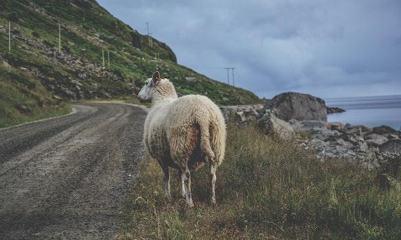 White Sheep Standing on Green Grass Near Sea