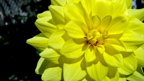 Yellow Dahlia Flower in Bloom Close-up Photography