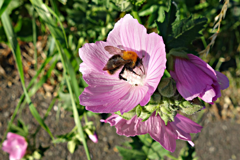 of bee, cranesbill, flower, geranium
