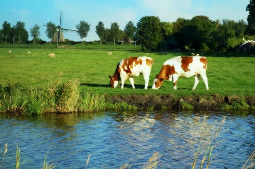 Free stock photo of cows, grass, green, Holland