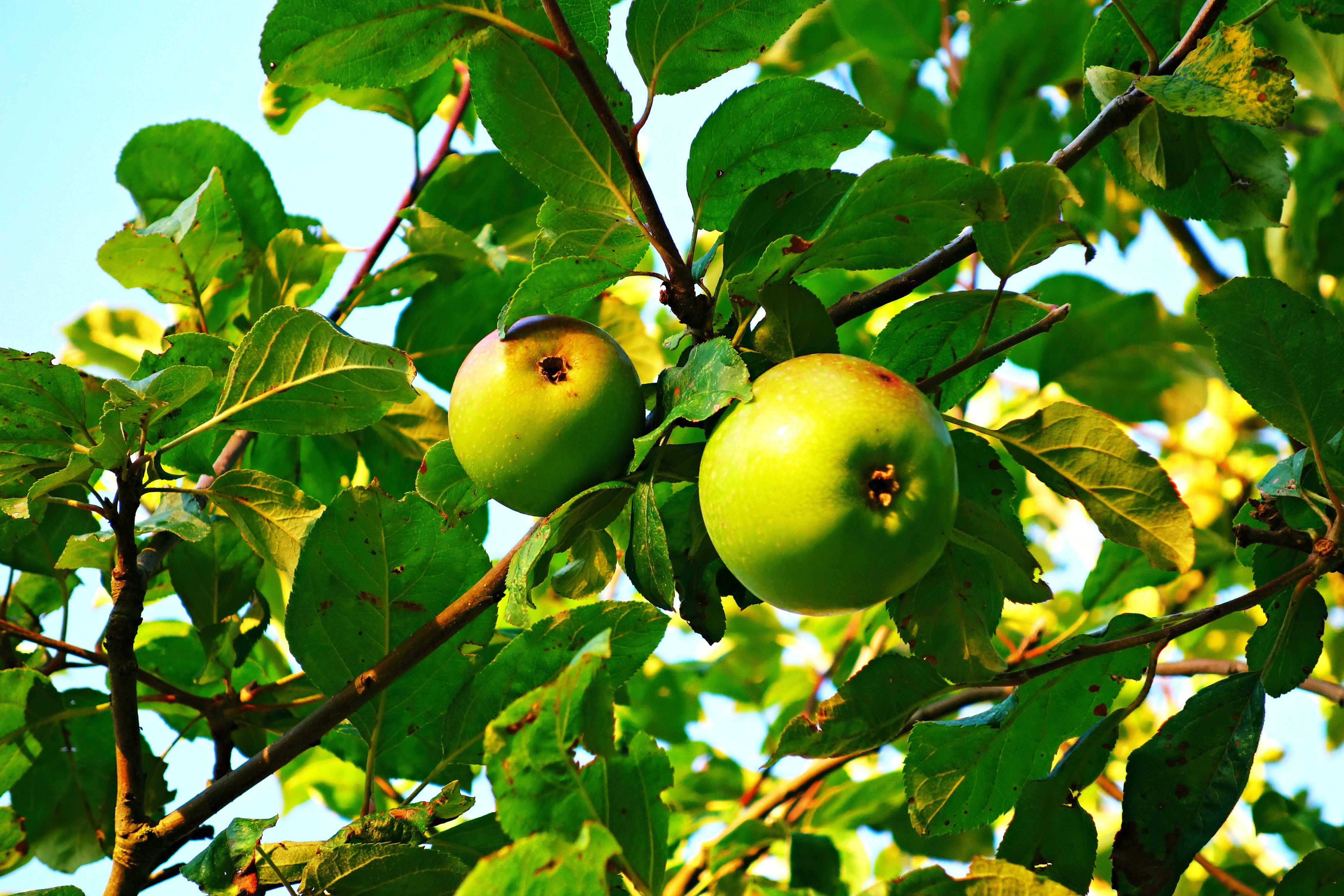 of apple, apple tree, bough, branch