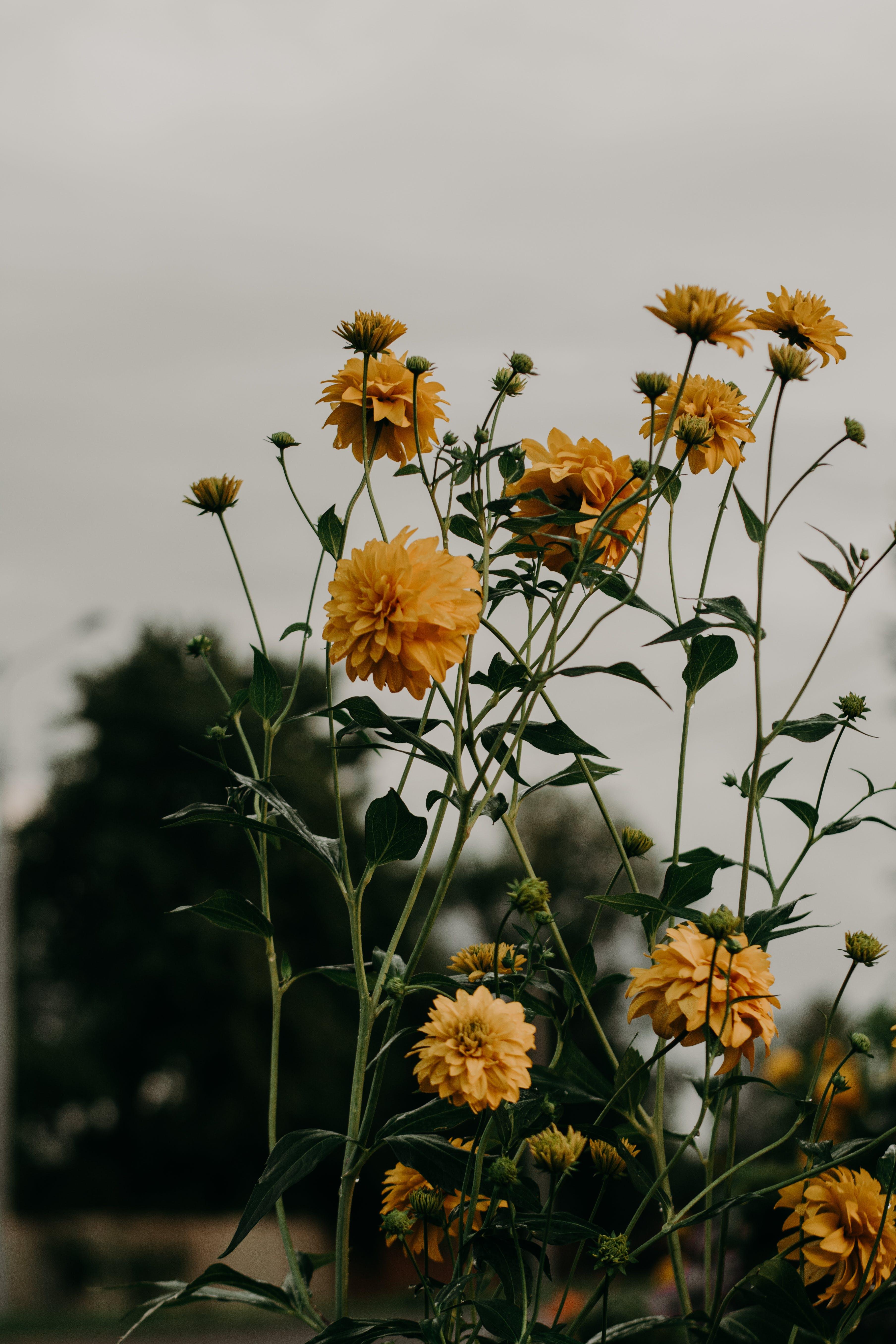 Selective Focus Photo of Yellow Dahlia Flowers