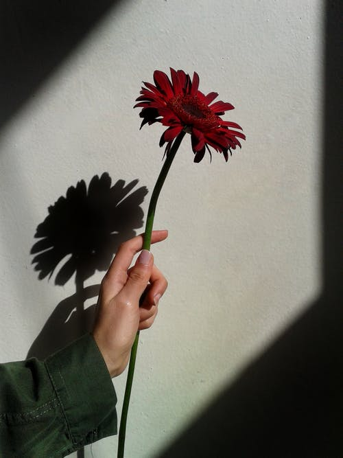 Person Holding Red Gerbera Flower