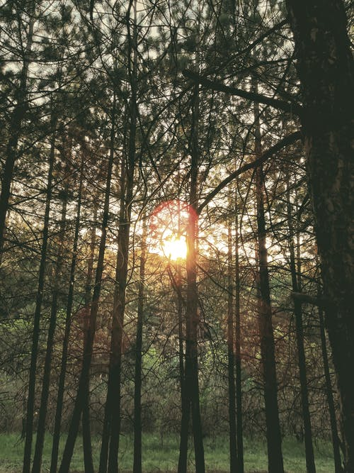 Free stock photo of forest, pine, sunset