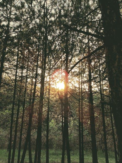 Δωρεάν στοκ φωτογραφιών με δασικός, δύση του ηλίου, πεύκο