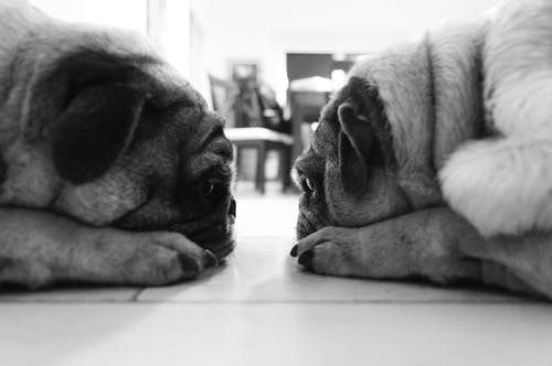 Free stock photo of animal portrait, black and white, pets, pug
