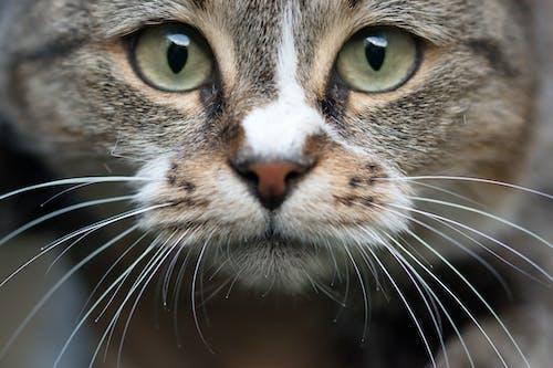 Foto profissional grátis de animais selvagens, animal, animal de estimação, bigodes de gato
