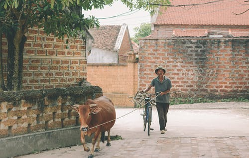Man Walking With Bike and Brown Cow