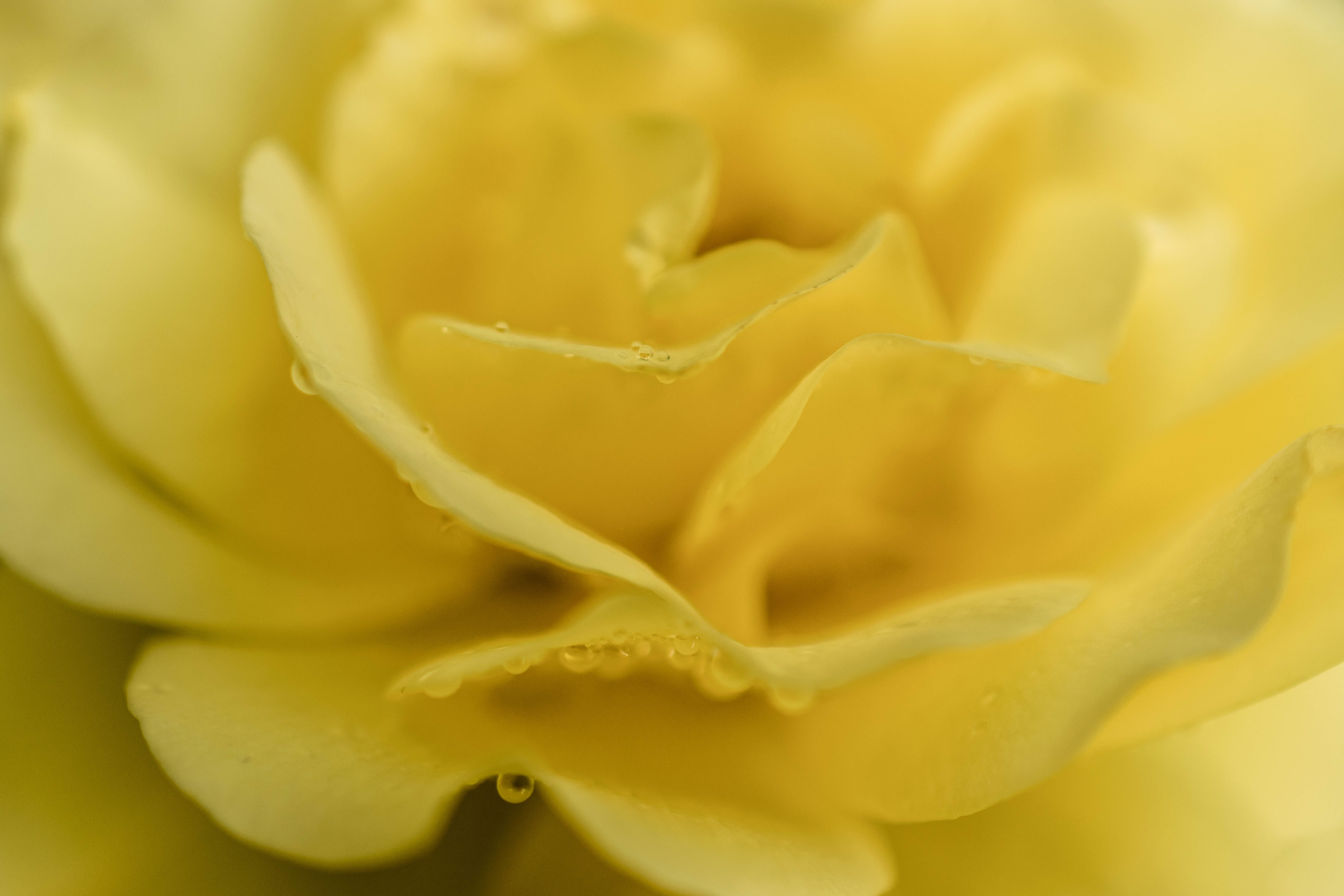 Free stock photo of yellow, petals, flower, rose