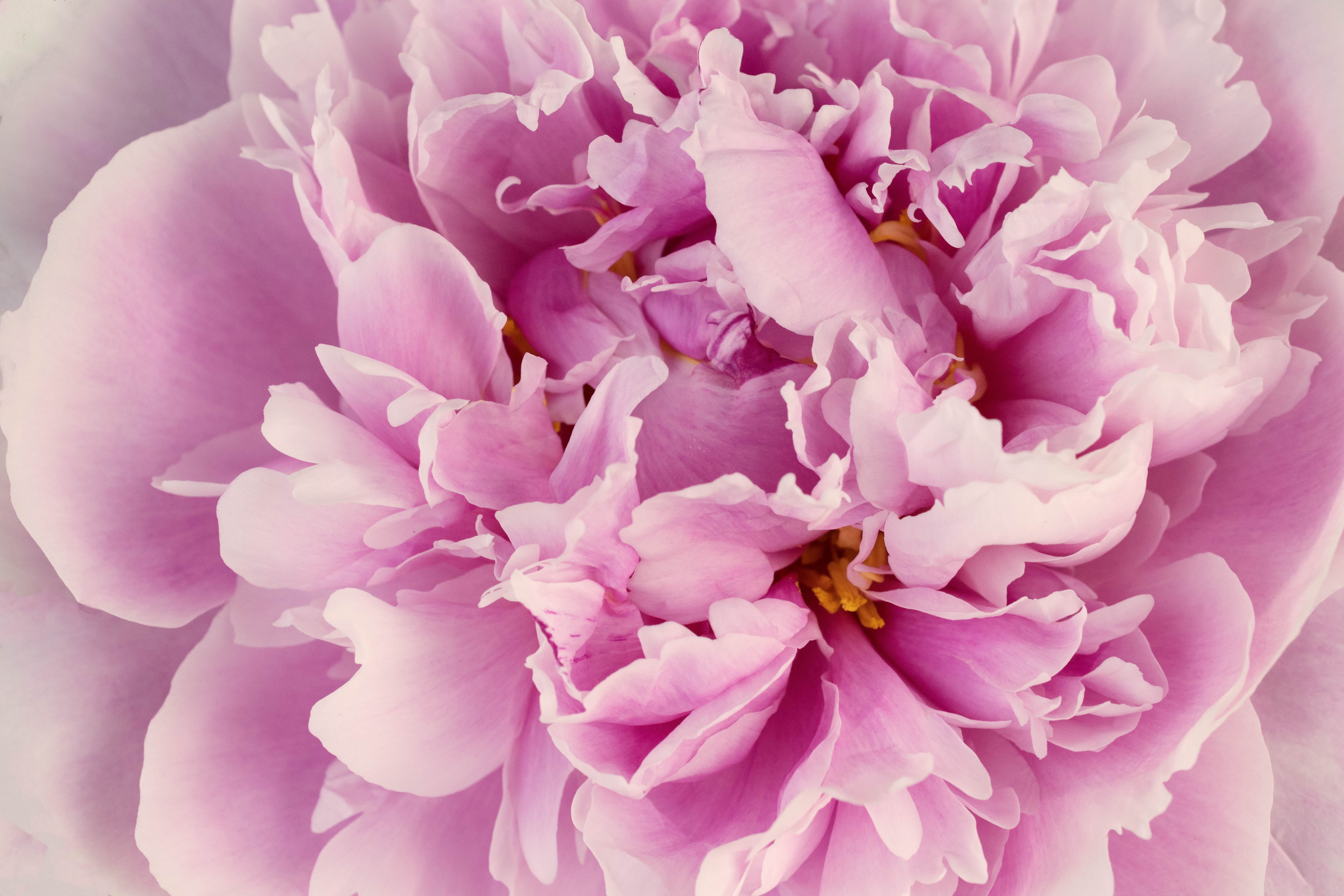 Free stock photo of flower, garden, peony, pink