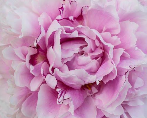 Bahçe, çiçek, pembe çiçek, şakayık içeren Ücretsiz stok fotoğraf