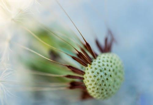 karahindiba, karahindiba tohumu, makro içeren Ücretsiz stok fotoğraf