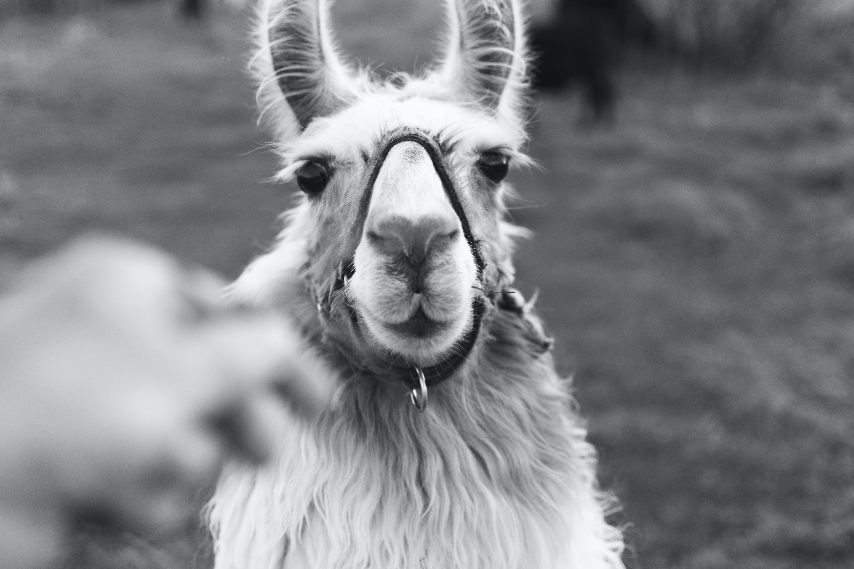 Grayscale Photo of Llama