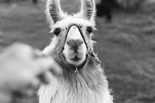 Graustufenfoto Von Lama