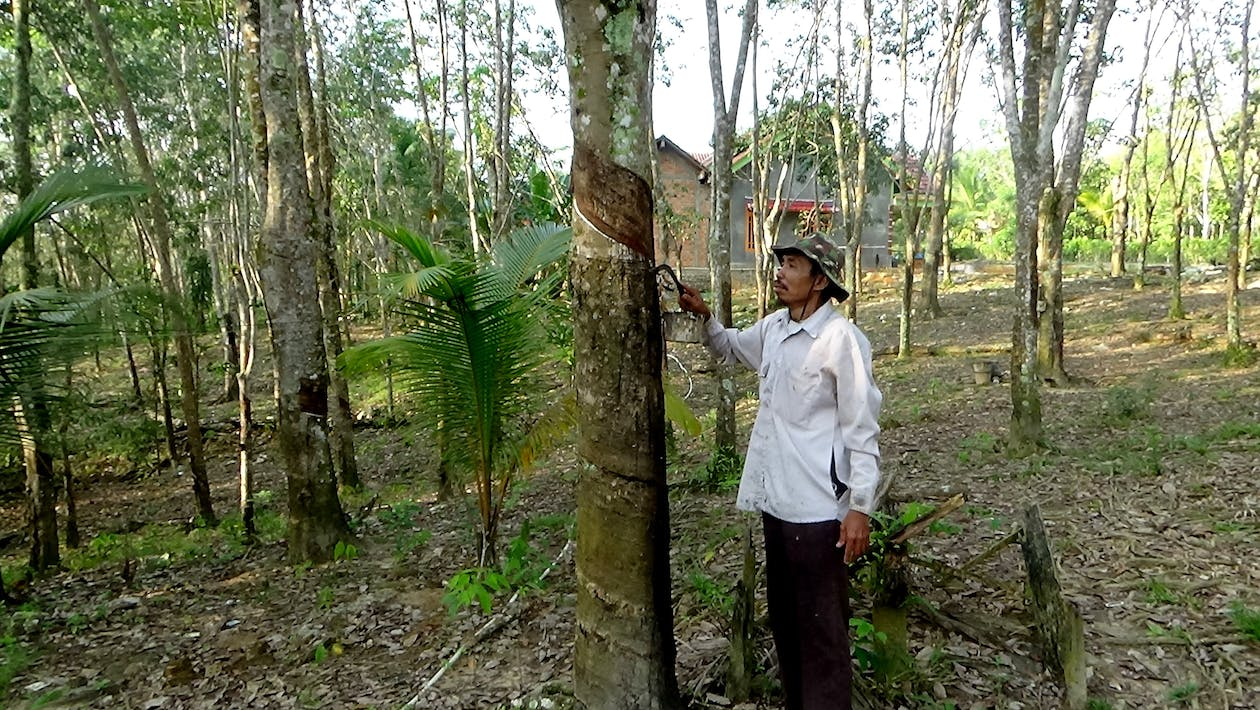 Free stock photo of asian man, tapping on the rubber tree