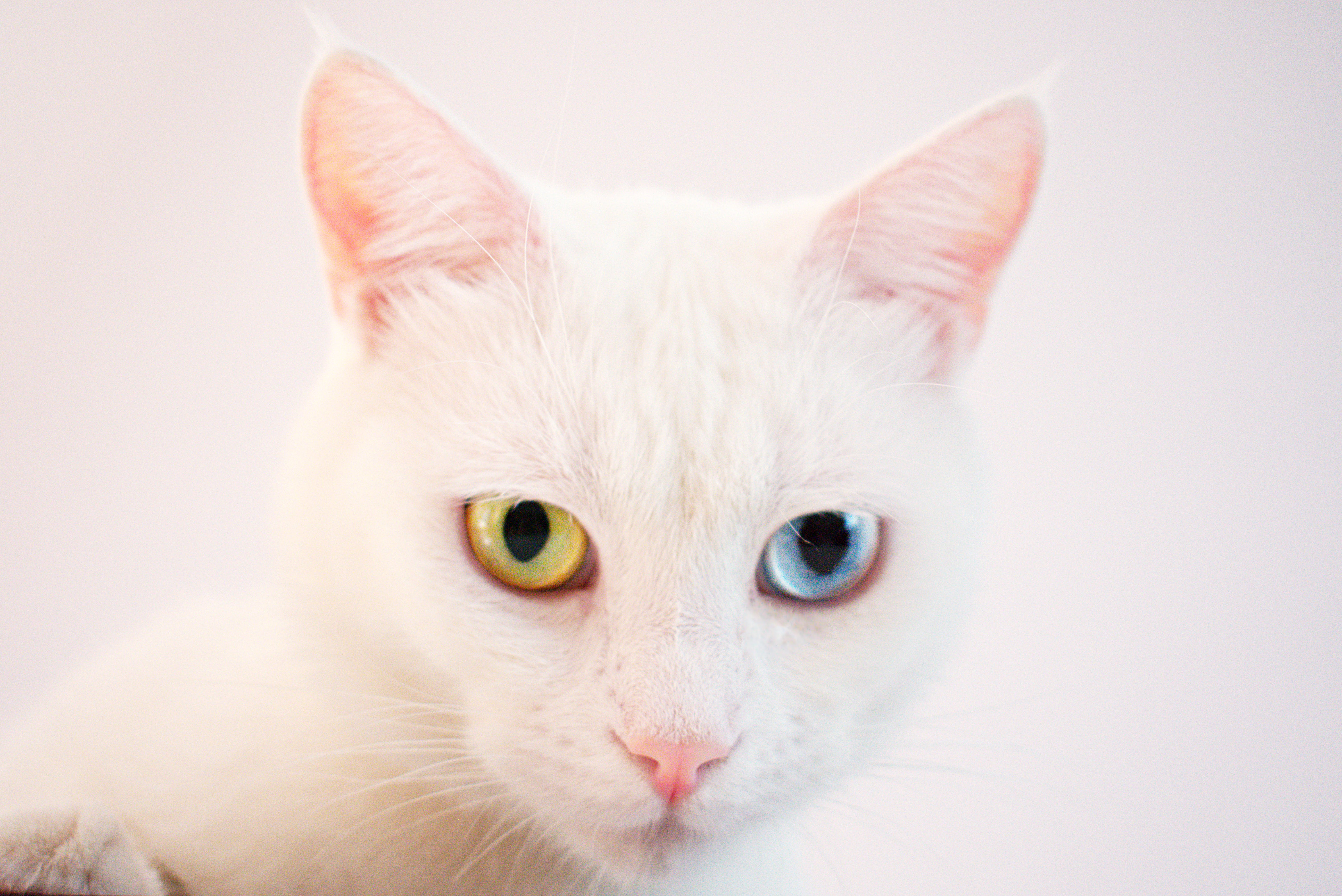 Close-up Photography of Short-furred White Cat