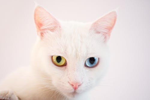 가정의, 고양이 얼굴, 고양잇과 동물, 귀여운의 무료 스톡 사진