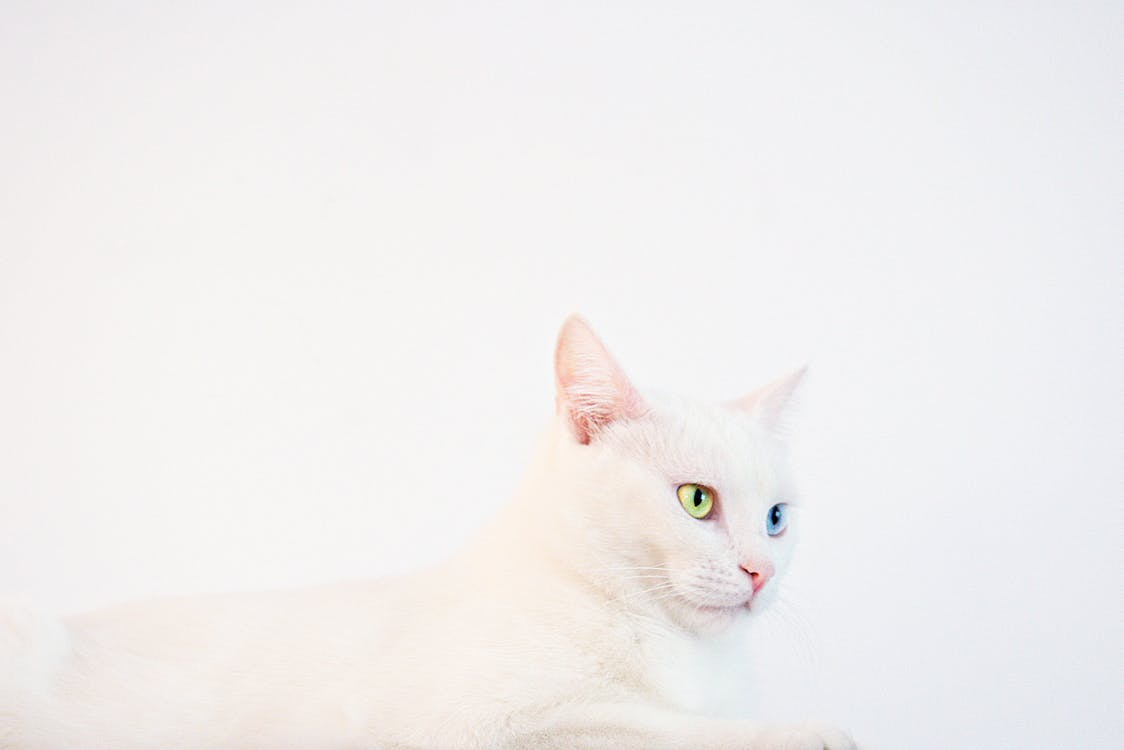 White Odd-eye Cat Lying on White Surface