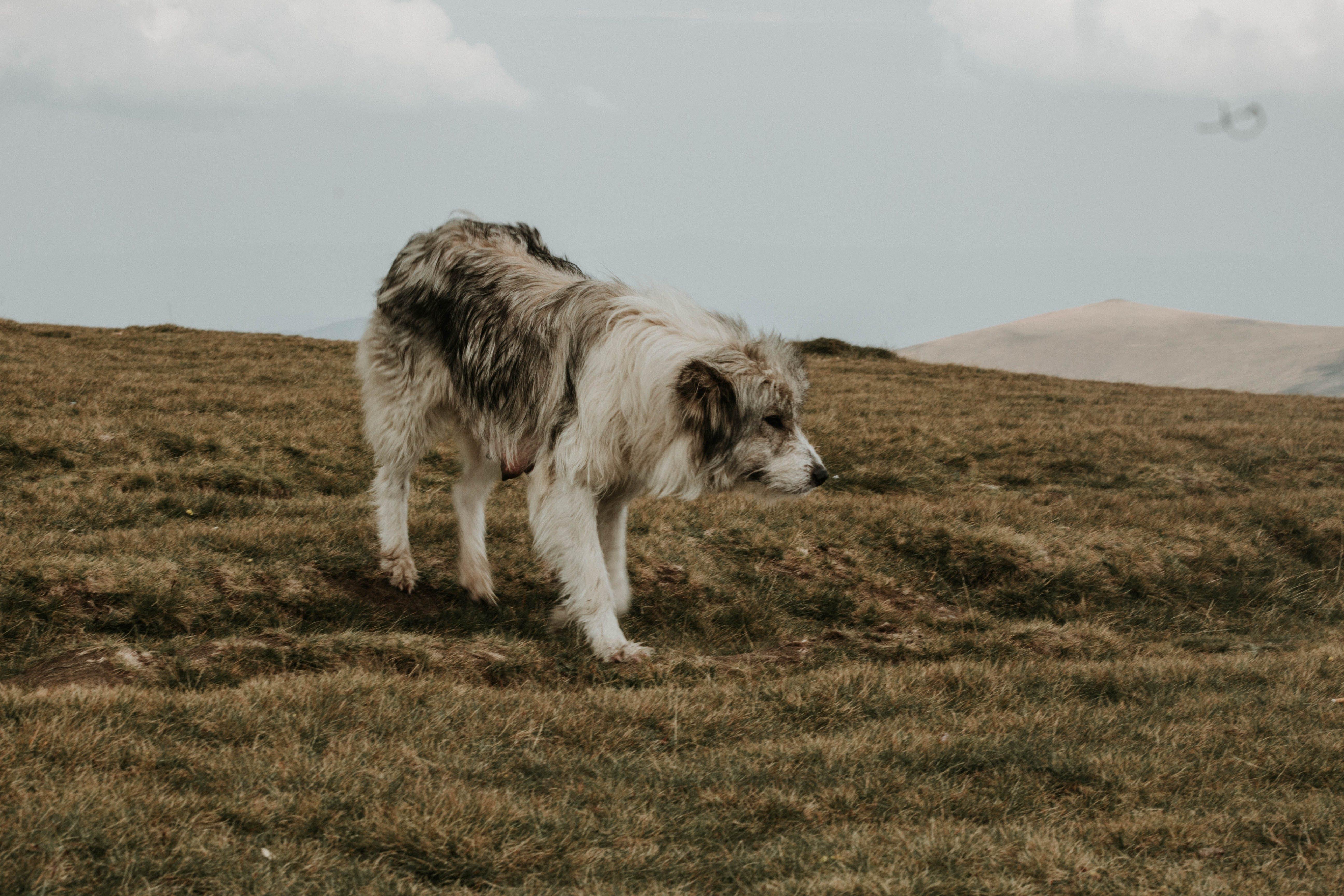 Medium Short-coated Gray and White Dog on Green Grass Under Gray Sky