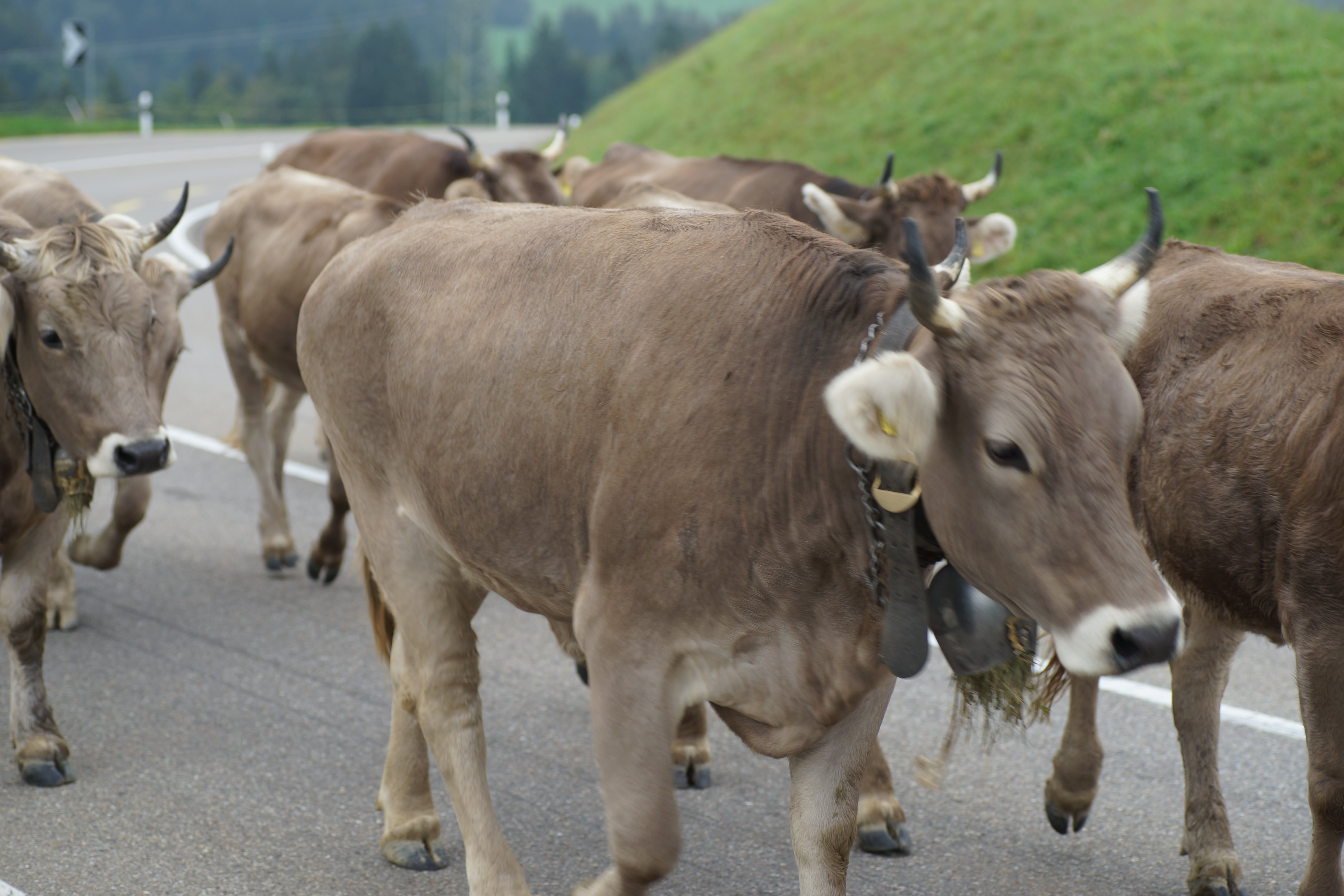 Free stock photo of alp, cow, tradition