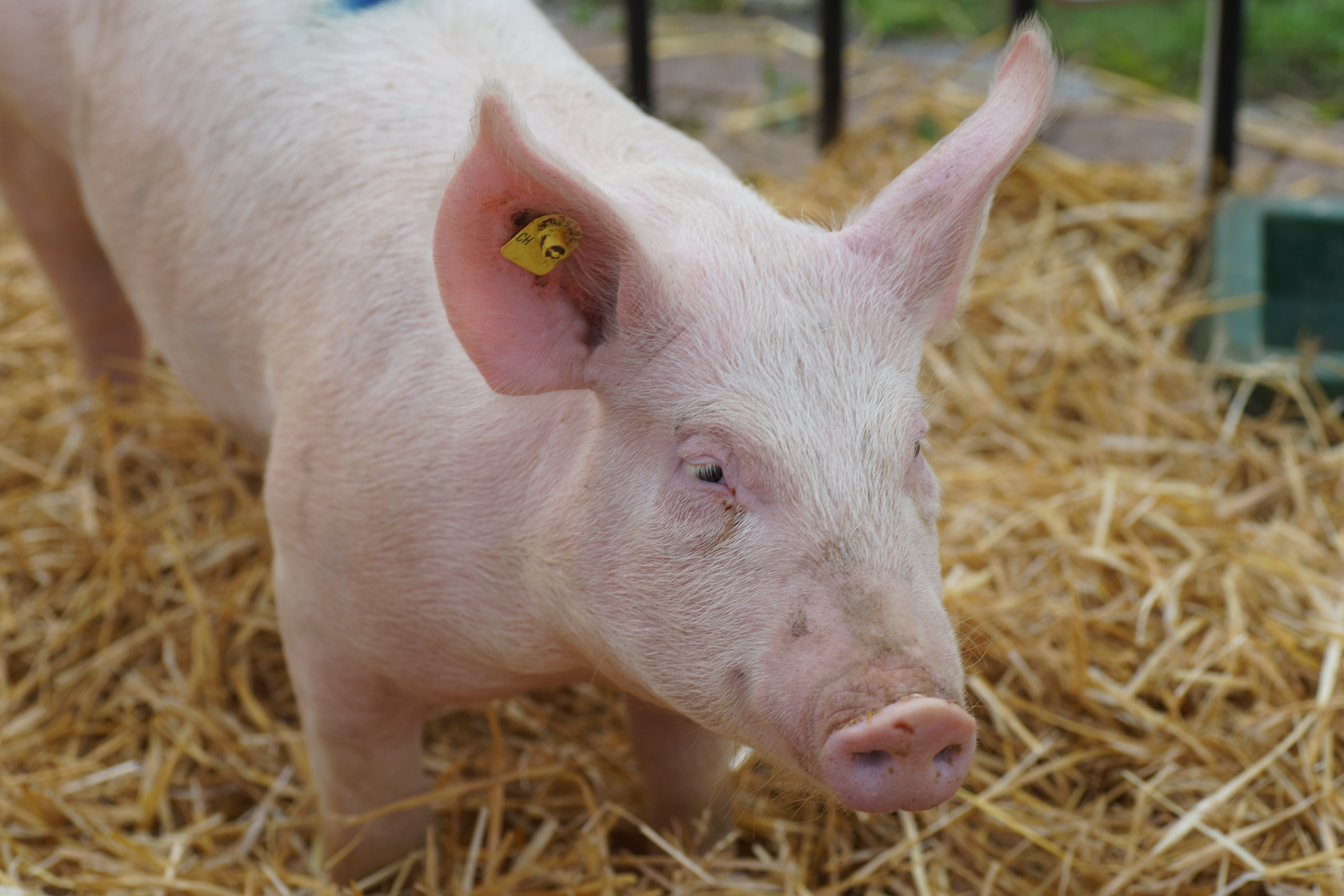 Free stock photo of pig