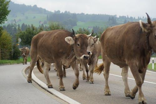 Darmowe zdjęcie z galerii z krowa, tradycja, turnia