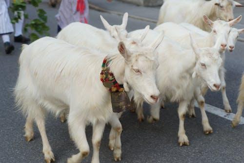 Бесплатное стоковое фото с козы, традиция