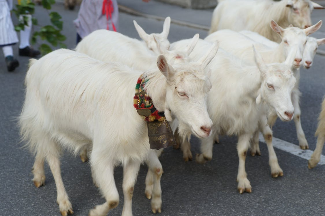 goats, tradition