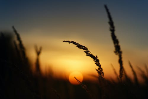 Silhouette of Grass during Golden Hour