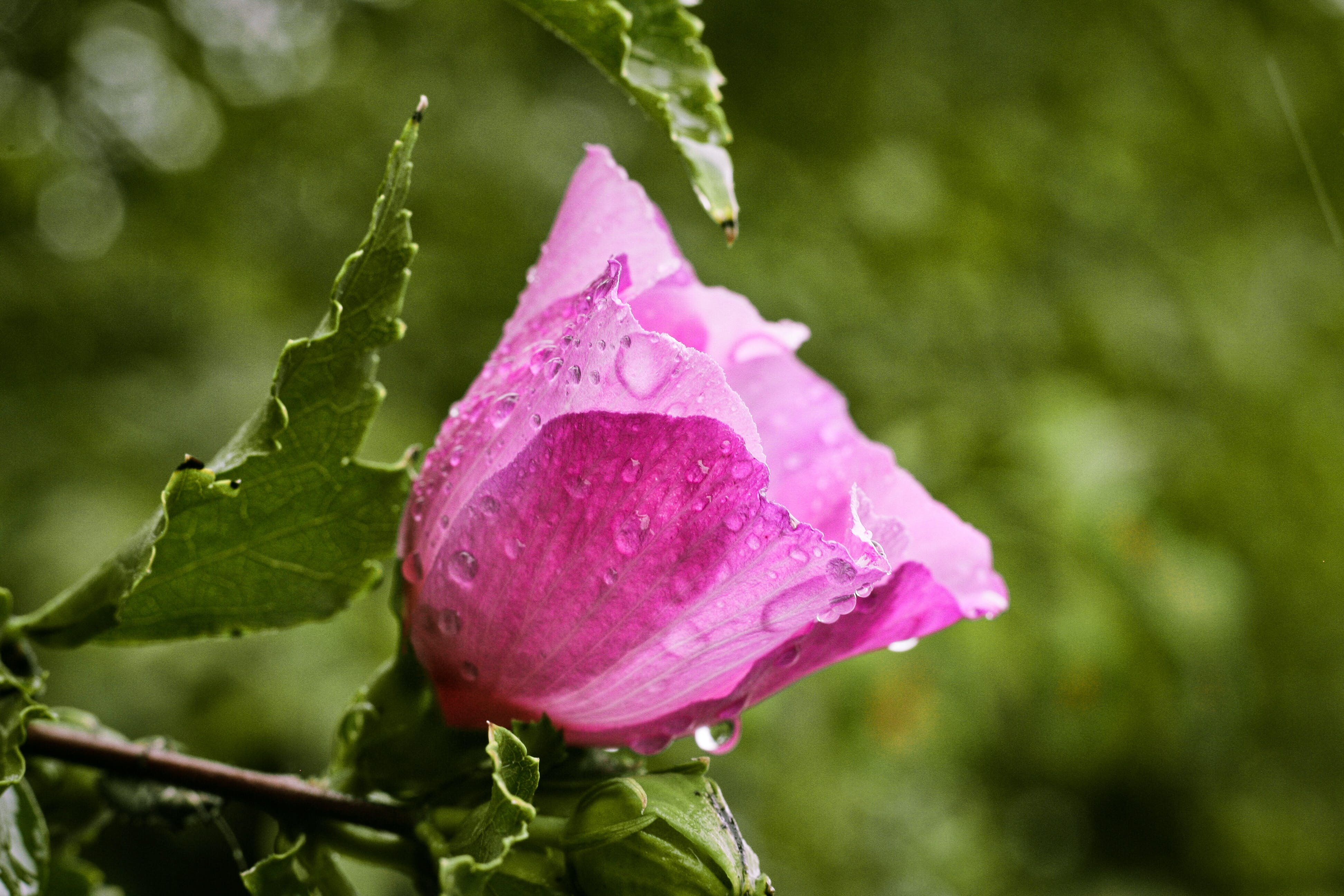 Closeup Photo of Pink Petaled Flower