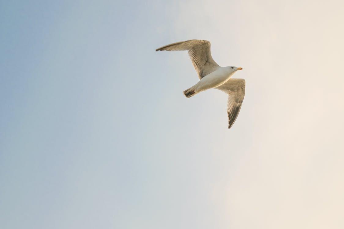 Weißer Vogel Fliegt