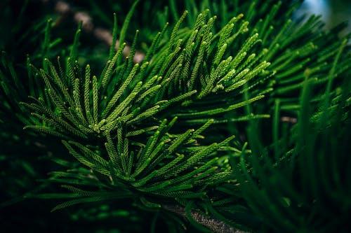 Gratis lagerfoto af baggrund, delikat, foilage, fyrretræ