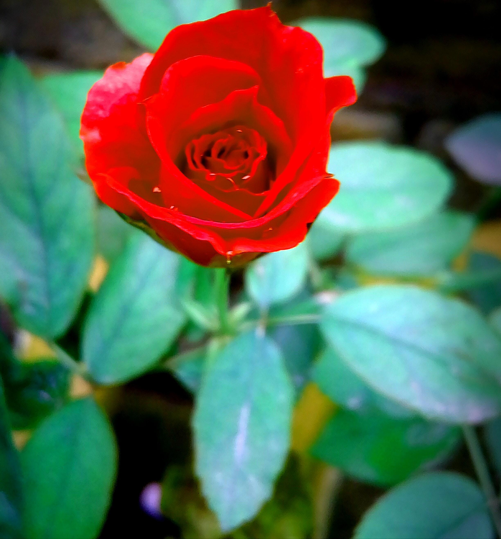 Beautiful Flower For Wallpaper: Free Stock Photo Of 4k Wallpaper, Beautiful Flowers, Blossom