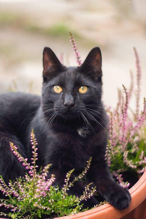 Foto d'estoc gratuïta de animal, bigotis, buscant, cara de gat