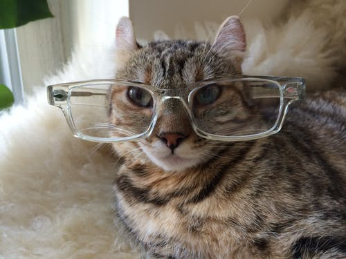Free stock photo of cat, eyeglasses