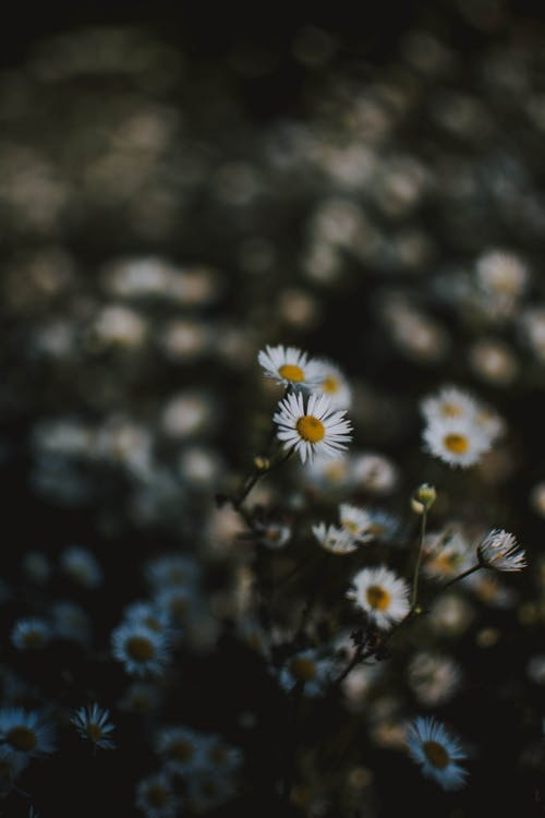 Selective Focus Photography Of White Chamomile Flowers
