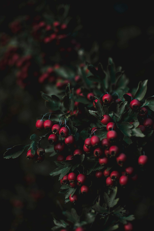 คลังภาพถ่ายฟรี ของ ต้นไม้, ผลไม้, เบอร์รี่