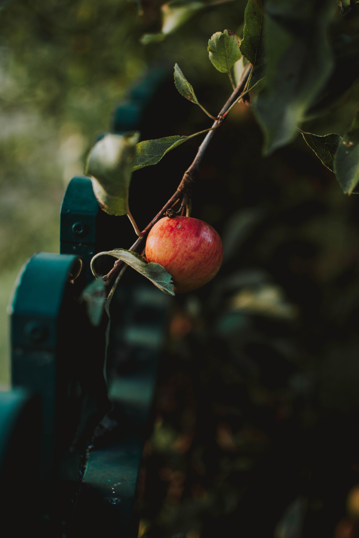 Imagine de stoc gratuită din apple, arbore, creangă, crește