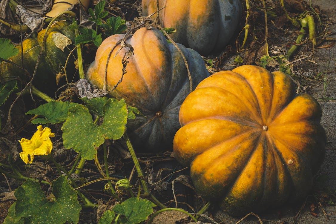 Halloween, kasvaa, kurpitsa